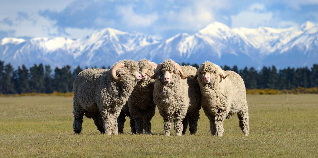 merino-sheeps