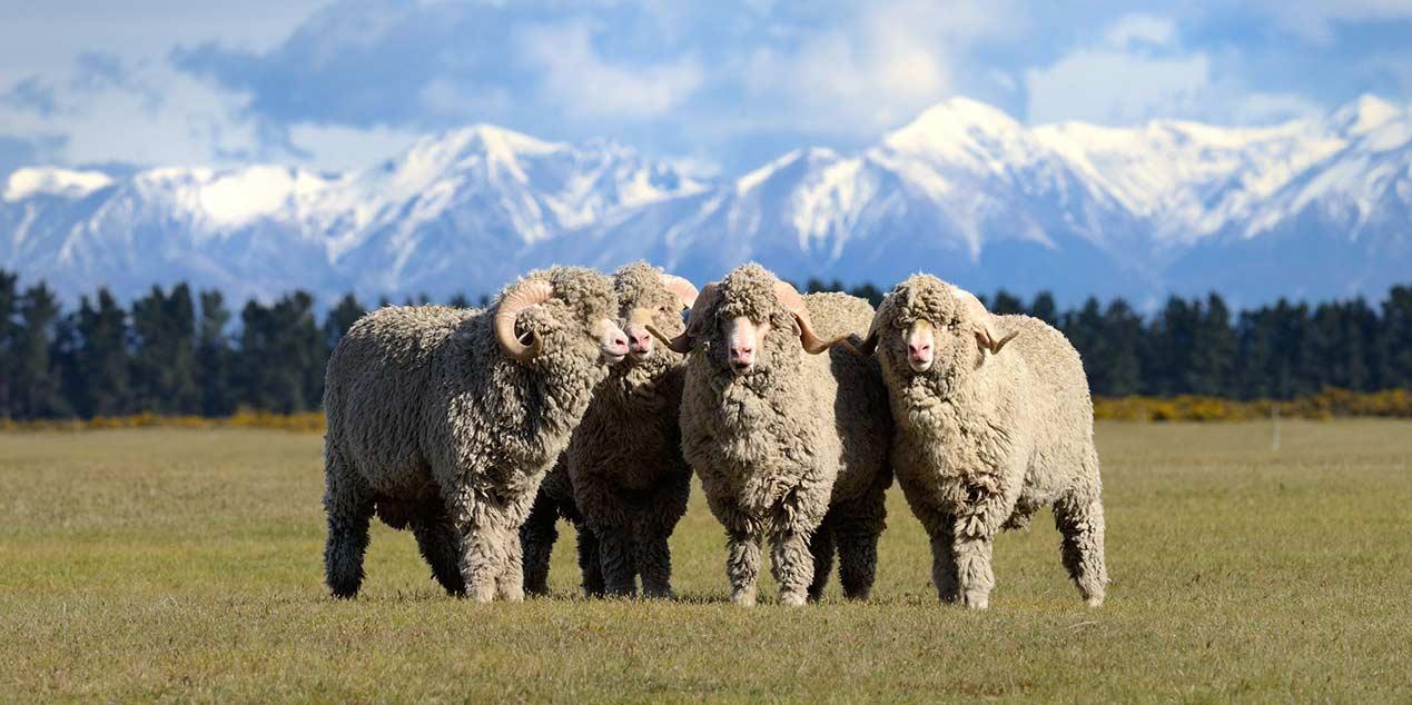 merino-sheeps